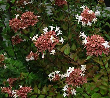 Picture of Rose Creek Abelia