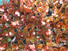 Picture of Dark Leaf Red Begonia