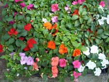 Picture of Impatiens