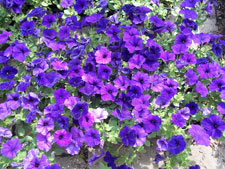 Picture of Wave Petunias