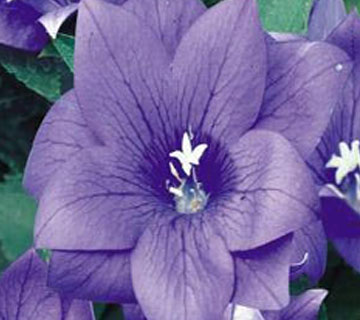 Picture of Balloon Flower