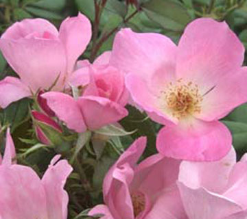 Picture of Blushing Knock Out Rose