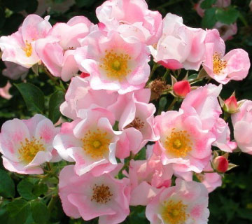 Picture of Carefree Delight Rose