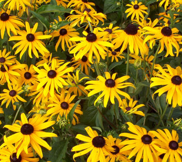 Picture of Goldstrum Rudbeckia